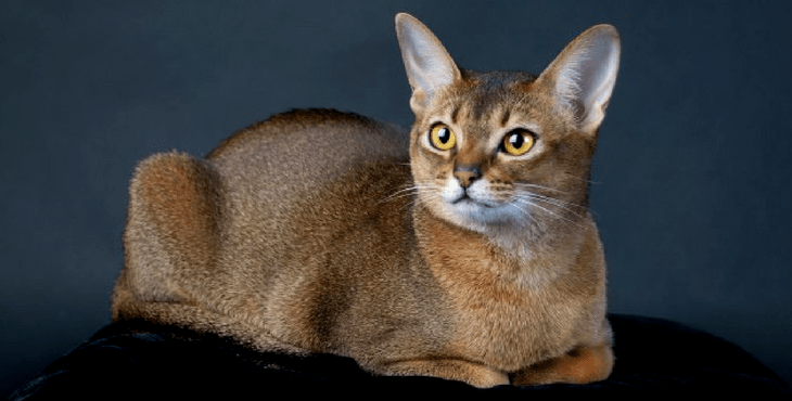 cat-abyssinian